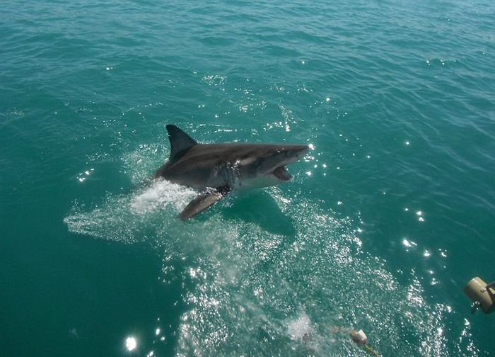 Great White Shark Leaps Out Of The Water And Terrifies Tourists