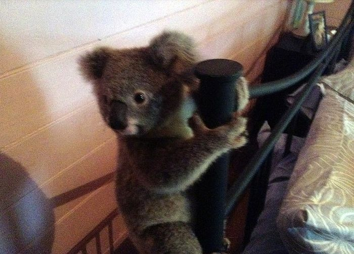 Australian Couple Come Home To Find Baby Koala In Their Room