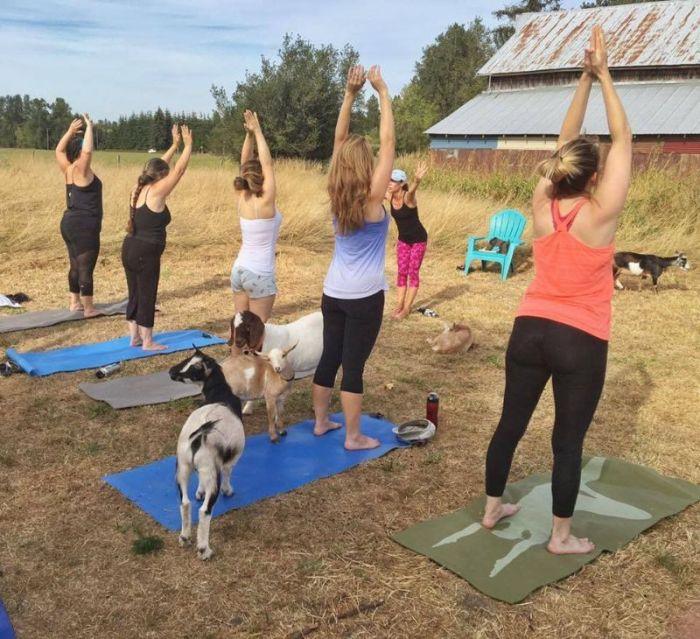 Goat Yoga Is The Latest Craze Among American Women