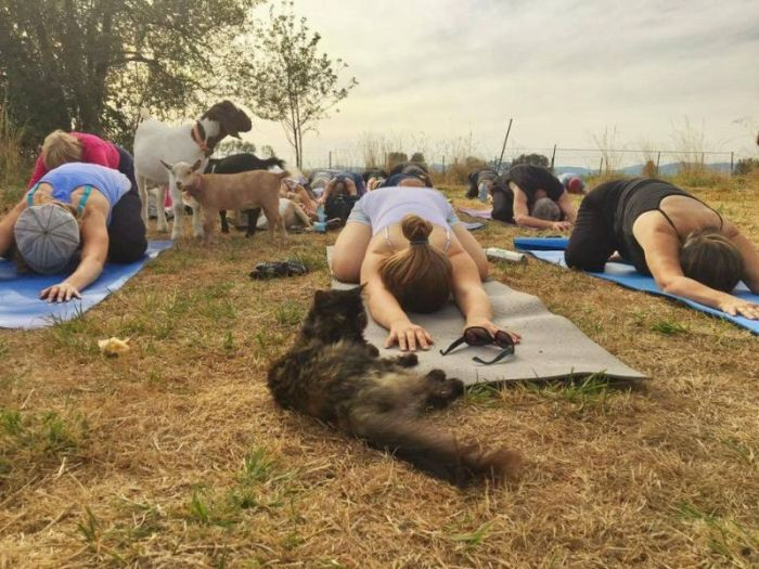 Goat Yoga Is The Latest Craze Among American Women