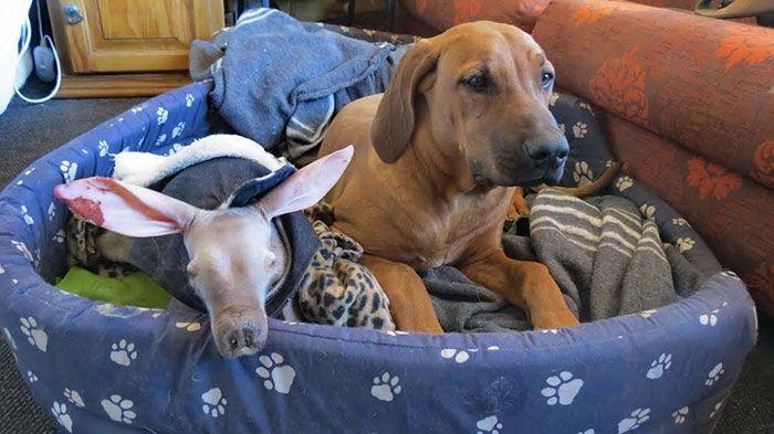Adopted Baby Aardvark