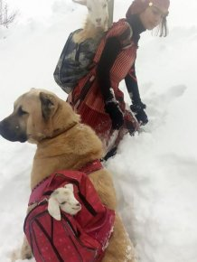 Girl And Her Dog Rescue An Adorable Mom Goat