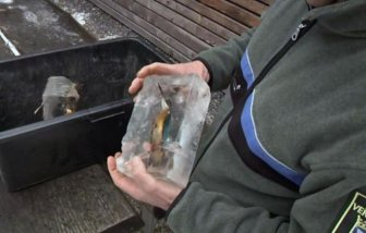 Kingfishers Found Frozen In Ice