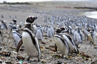 Fish Draw One Million Penguins To Peninsula In Argentina