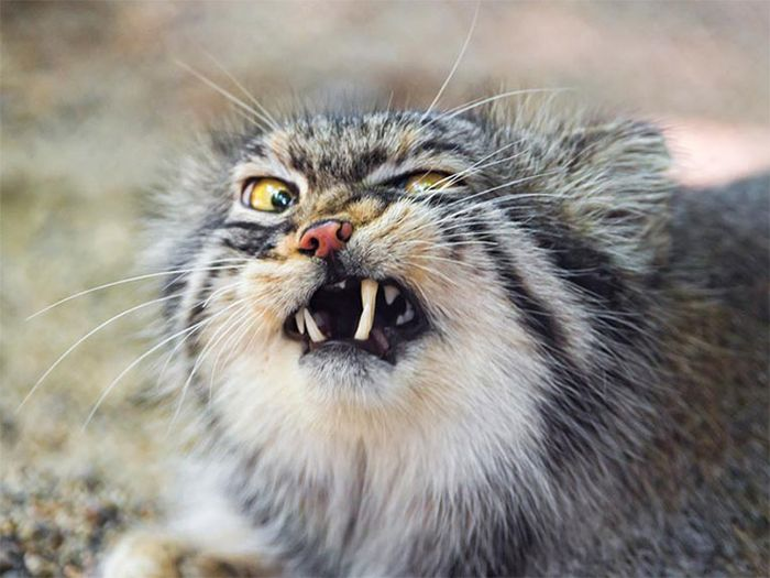 Cats Look Hilarious Right Before They Sneeze