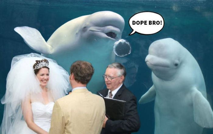 Beluga Whale Attends Wedding, Sparks Photoshop Battle