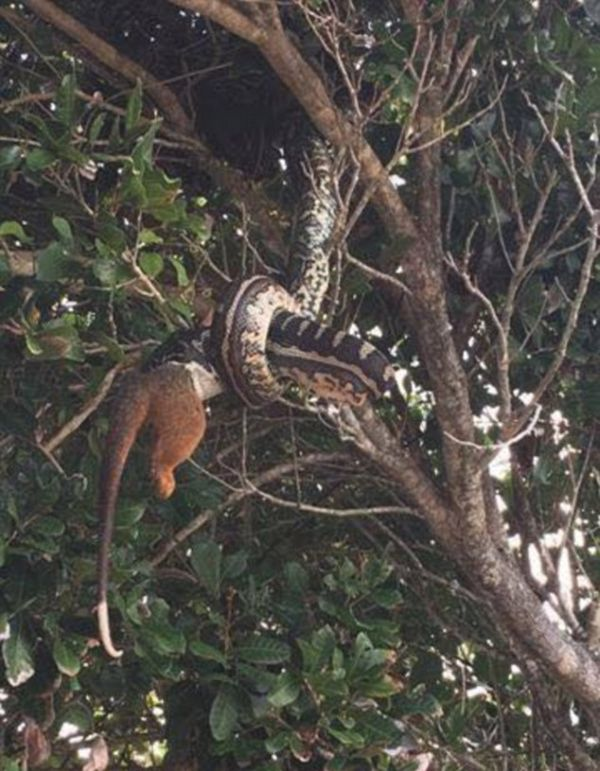 Photographer Captures A Snake Swallowing A Possum Whole