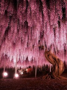 Why You Need To Hop On A Plane And Visit Japan's Wisteria Festival