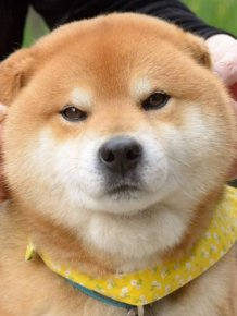 Ryuji Is The Most Adorable Shiba From Japan