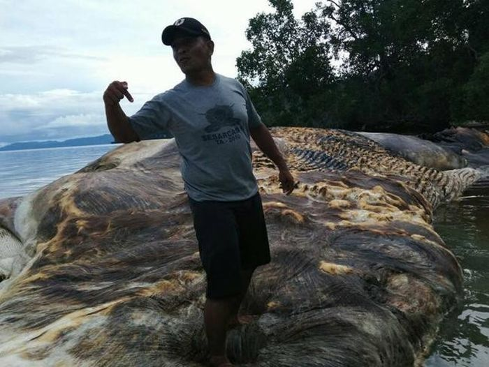 Giant Sea Creature Washes Up In Indonesia