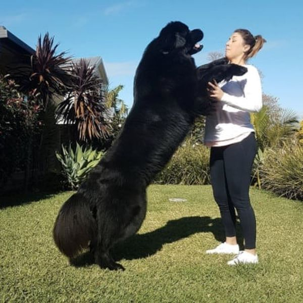 Some Dogs Are Too Big For Their Own Good