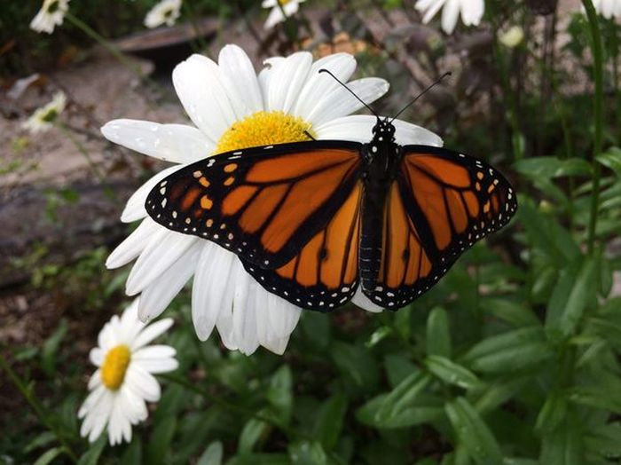 Journey Of A Monarch Butterfly From Egg To Butterfly