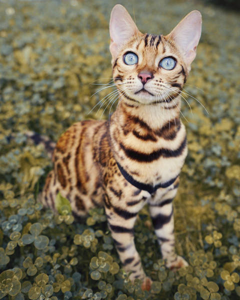 Souvent A Cat From Canada That Travels A Lot | Animals BI65