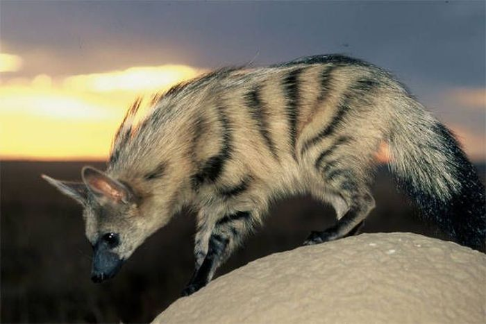 Aardwolves Are Cute