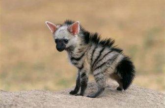Aardwolves Are Cute