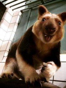 Tree-Kangaroos Are Cute