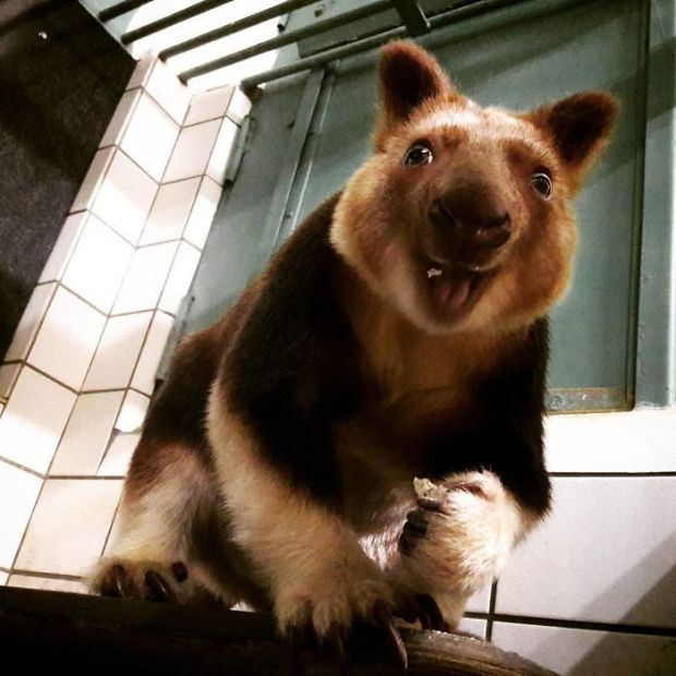 Tree Kangaroos Are Cute Animals