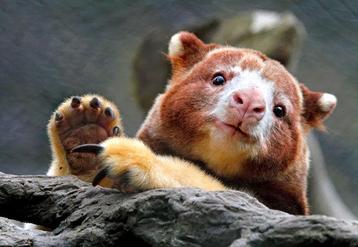 Tree-Kangaroos Are Cute | Animals