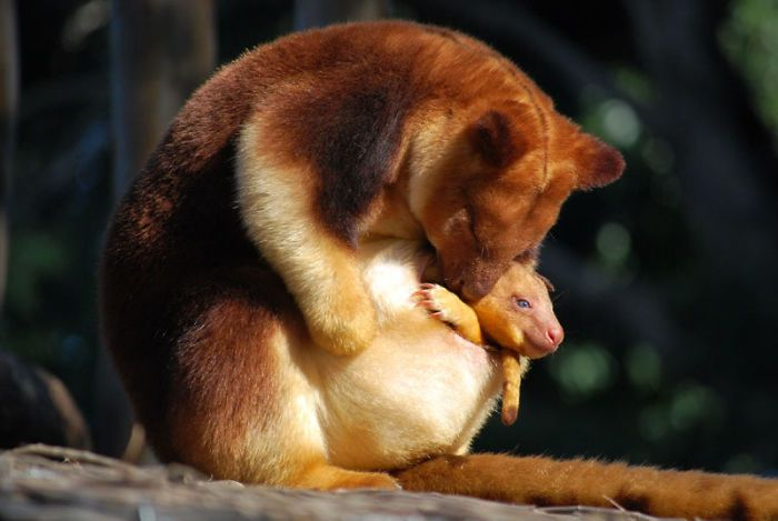 Tree-Kangaroos Are Cute