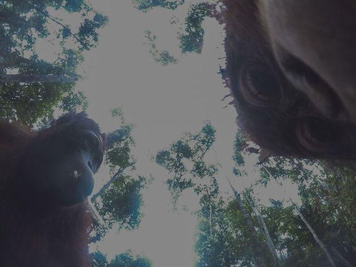 Orangutan Found A Hidden Camera In The Forest