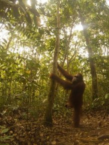 Orangutan Found A Hidden Camera In The Forest