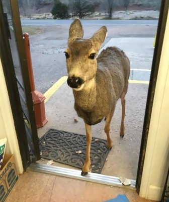 Deer Walks Into Store And Brings A Surprise