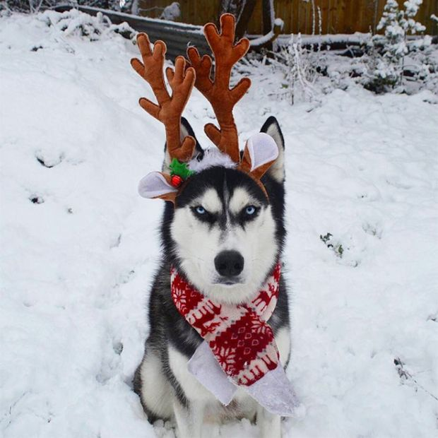 This Husky Hates Christmas