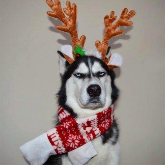 This Husky Hates Christmas