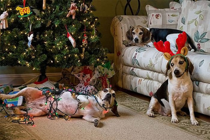 Cats And Dogs Hate Christmas Decorations