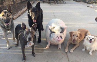 A piglet Who Grew Up With Five Dogs And Became One