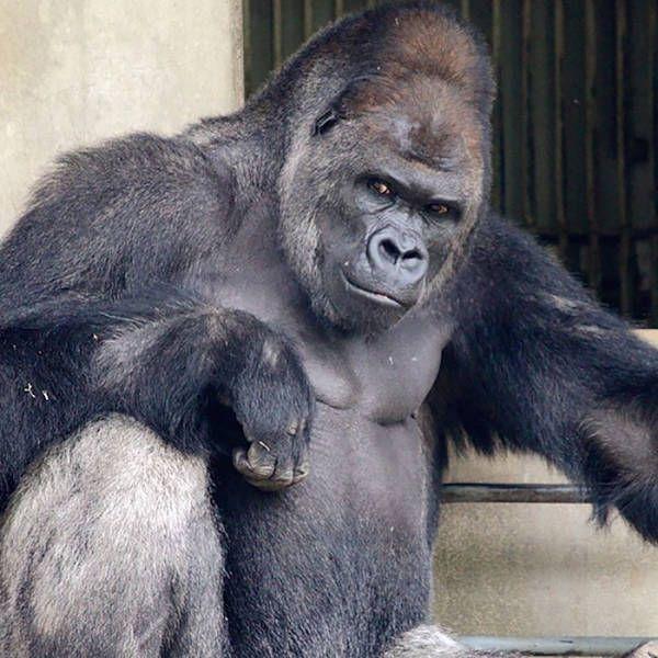 A Cool Gorilla