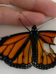 Professional Costume Designer Performs A Wing Transplant On A Butterfly