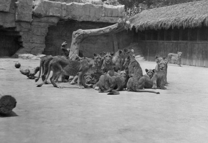 Vintage Photos Of The LA Lion Farm