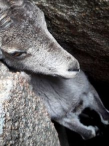 People Saved A Stuck Mountain Goat
