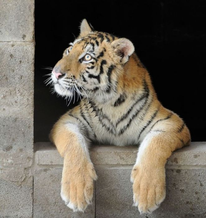 Before And After This Tiger Was Rescued. Unbelievable Photos