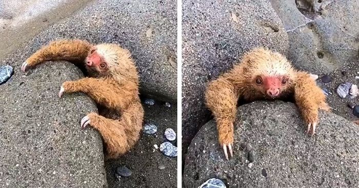 A Young Sloth Was Stuck In The Stones and Was Rescued