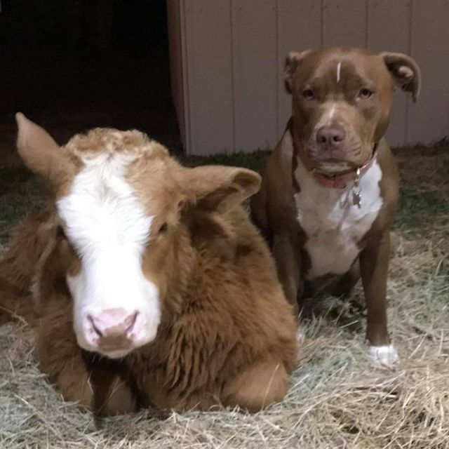 Rescued Cow Feels Itself Like A Dog