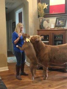 Rescued Cow Feels Itself Like A Dog