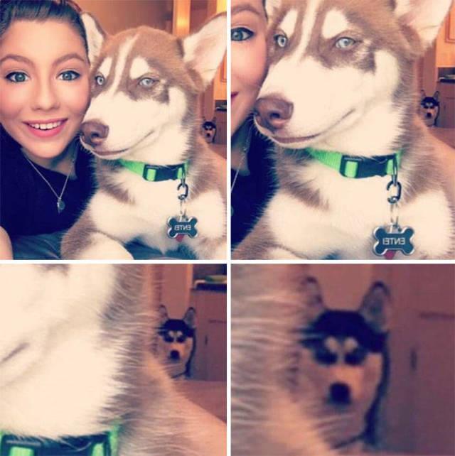 Funny Huskies