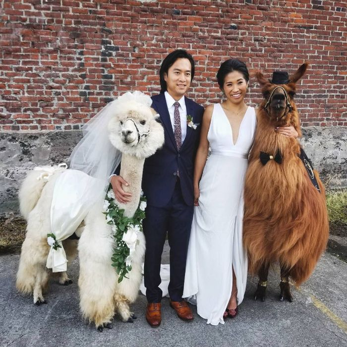 You Can Rent Llamas For Your Wedding