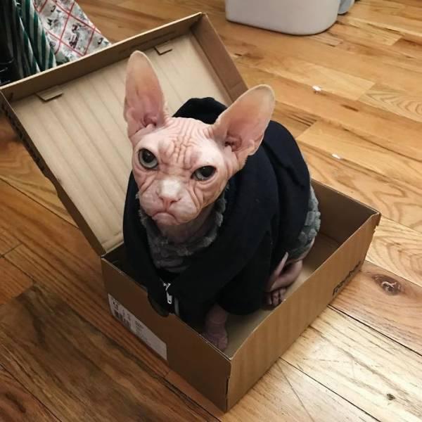 Loki TheGrumpy Sphynx Cat