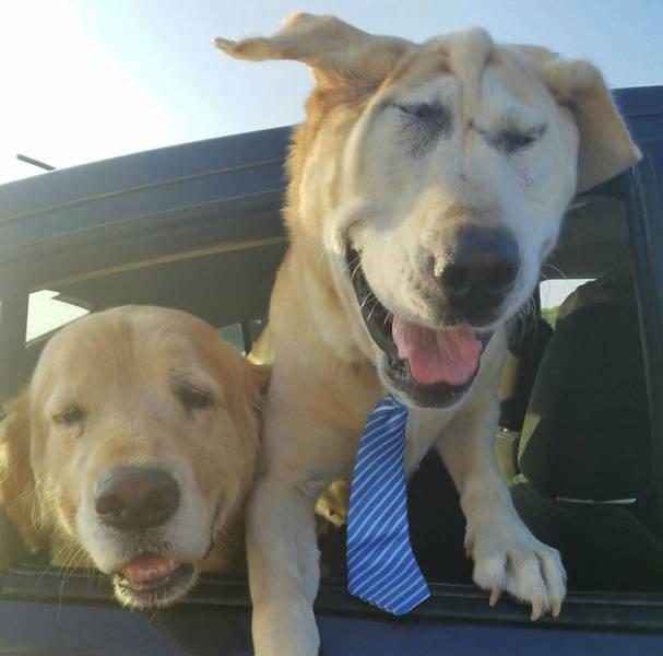 Deformed Labrador Is Living A Happy Dog Life