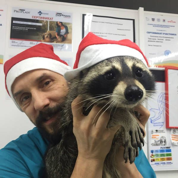 This Raccoon Is A Good Veterinarian