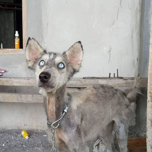 A Saved Husky Looks Like Before & After She Was Saved From The Streets