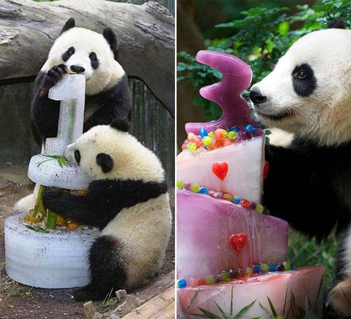 Pandas Celebrating Birthdays