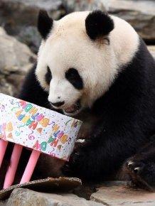 Pandas Celebrating Birthdays