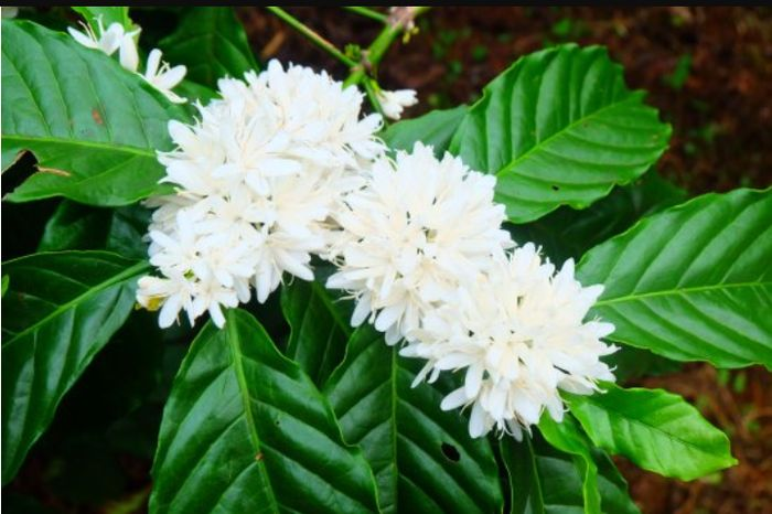 Time To See Coffee Blossoms