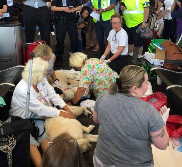 The Guide Dog Of One Of The Passengers Gave Birth To 8 Puppies Right At The Airport