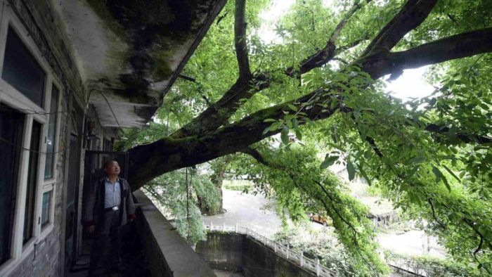 Residential house with 400-year-old tree growing inside