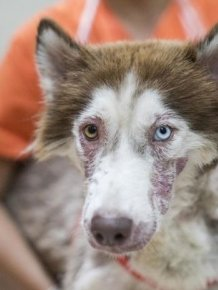 Husky  Rescued From The Streets Of Phuket